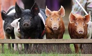 Pigs pic