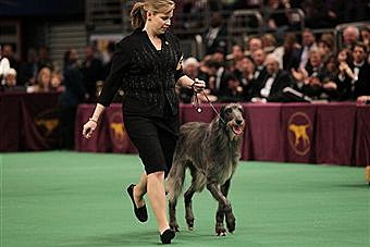 Hickory - Scottish Deerhound