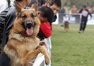 Dogs Perform At A German Shepherd Dog Show