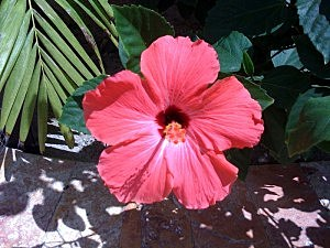 April Hibiscus flower