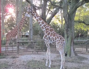 giraffes at zoo of acadiana