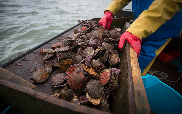 Traditional Oyster Farming In The Fal Estuary